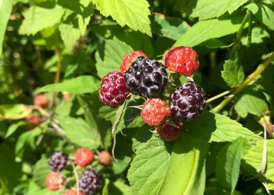 LHT Summer Black Raspberries John Marshall