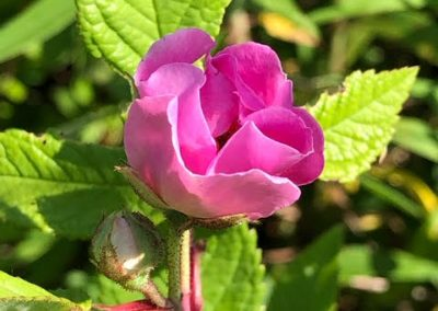 LHT Wild Rose by John Marshall