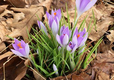 Spring Crocus John Marshall
