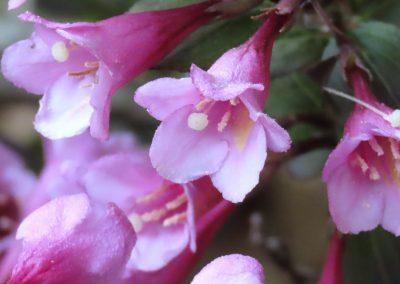 LHT Pink Wygelia