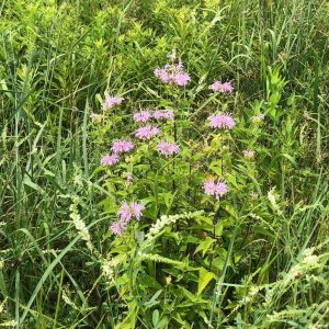 LHT What's Blooming Bee Balm