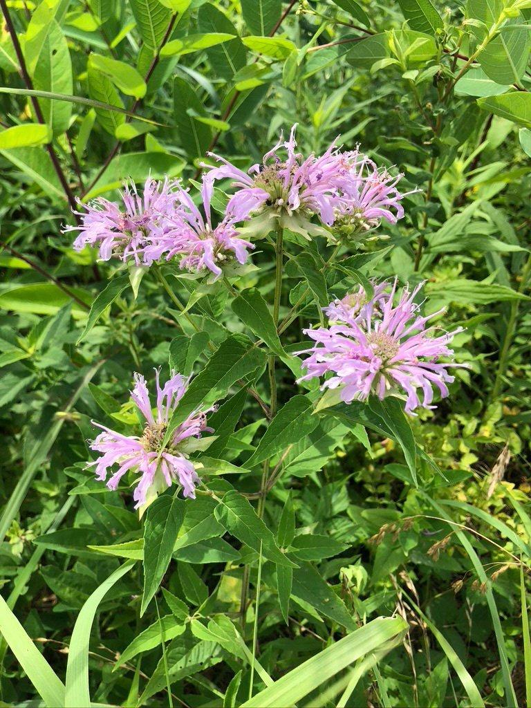 LHT Wild Bergamot Bee Balm