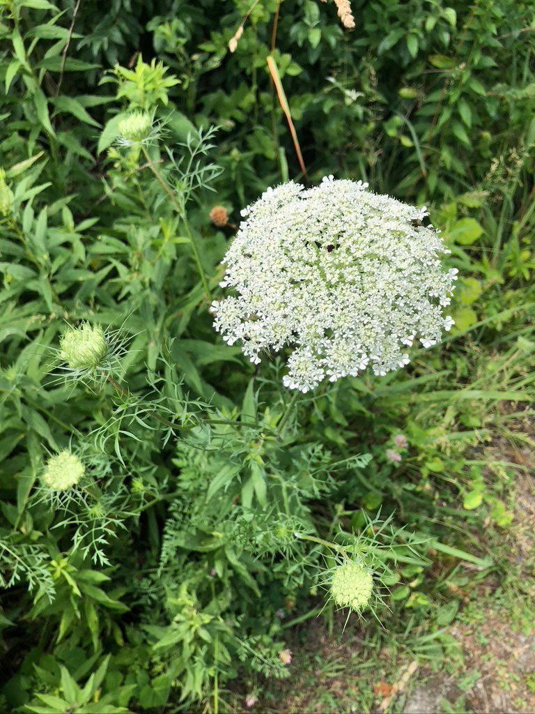LHT Queen Anne's Lace Wild Carrot