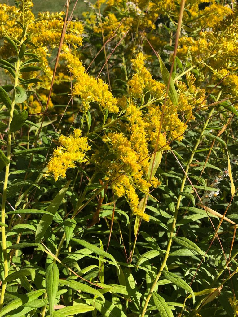 LHT Blooming on the Trail Goldenrod