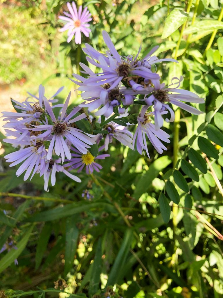 LHT Blooming on the Trail Late Purple Aster