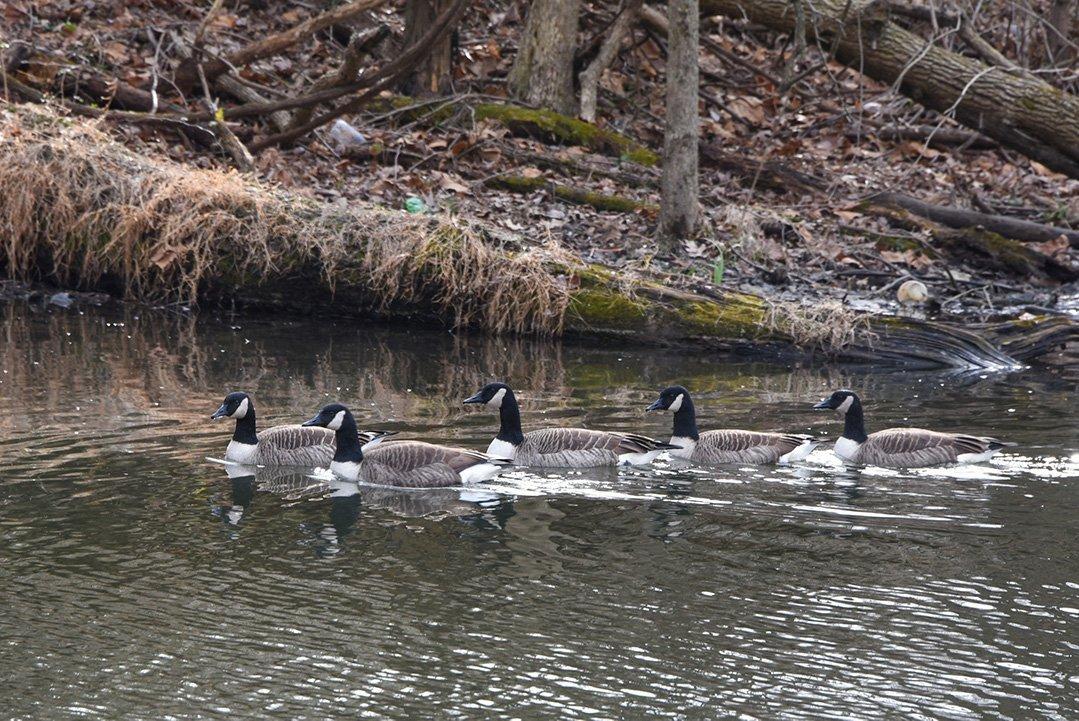 LHT Ducks by Kara Boone