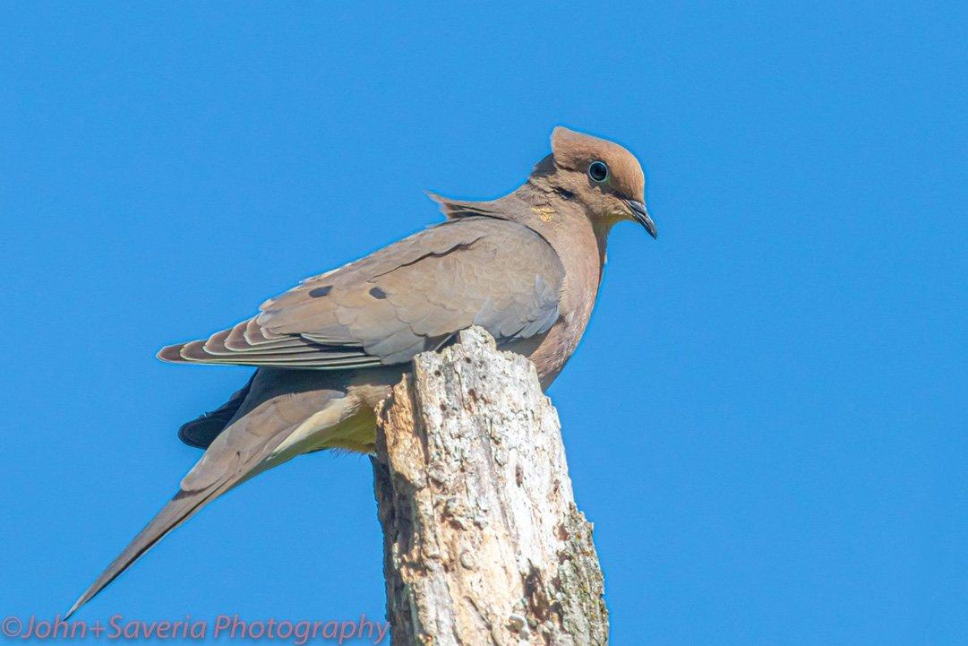 LHT Uccelli JohnSaveria Photography Mourning Dove