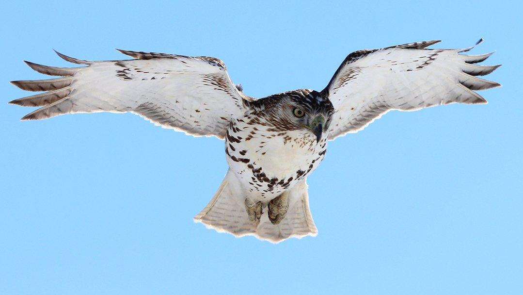 LHT Hawk by Samanta Bean