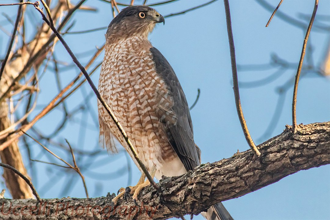 LHT Coopers Hawk by Uccelli Photography