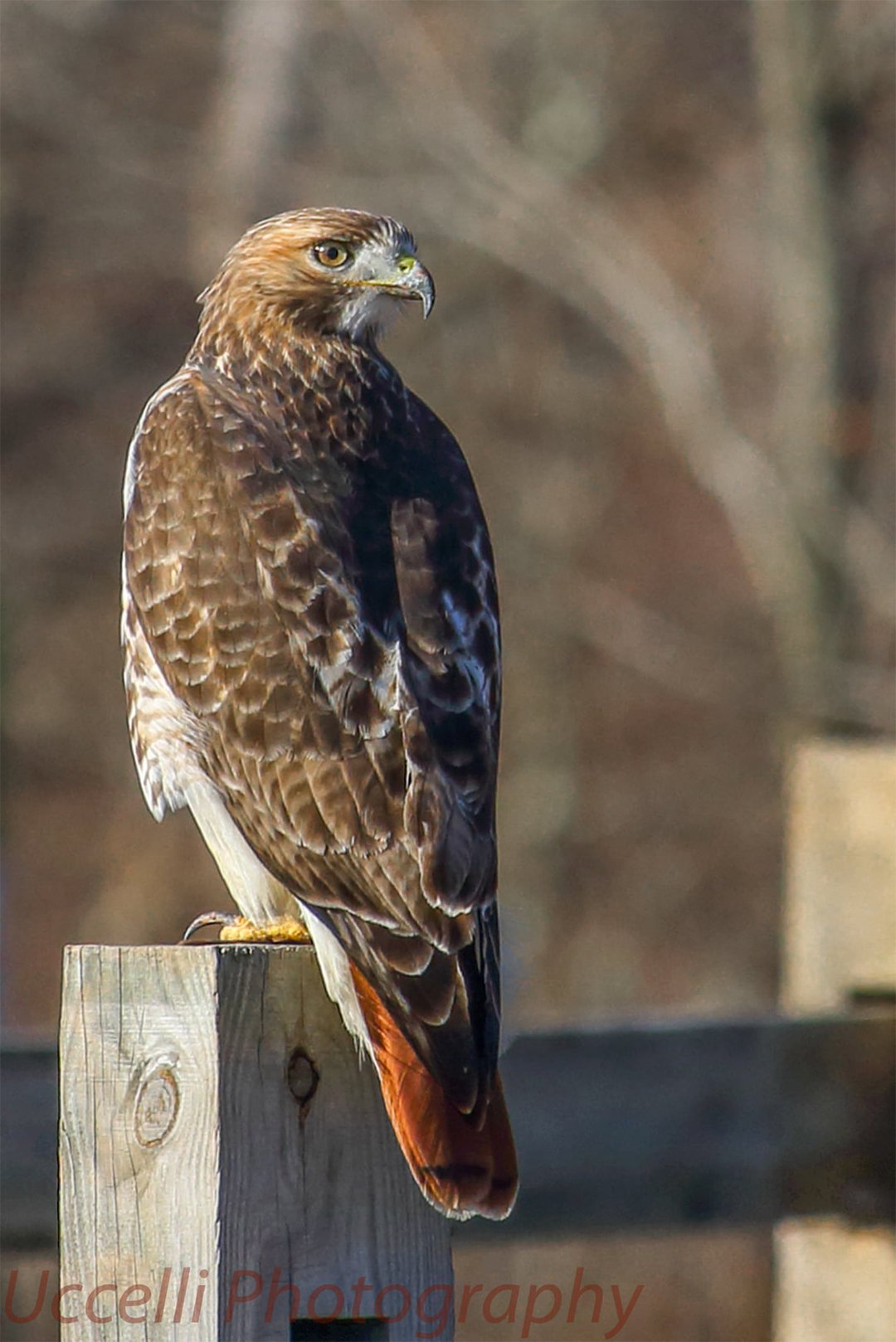 LHT Hawk by Uccelli Photography