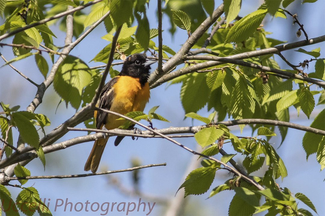 LHT Baltimore Oriole Uccelli Photography