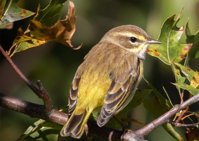 LHT Palm Warbler Uccelli Photography