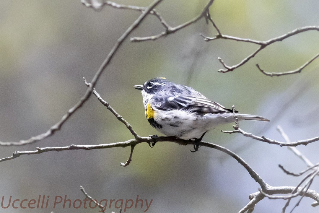 LHT Yellow-rumped Warbler Uccelli Photography