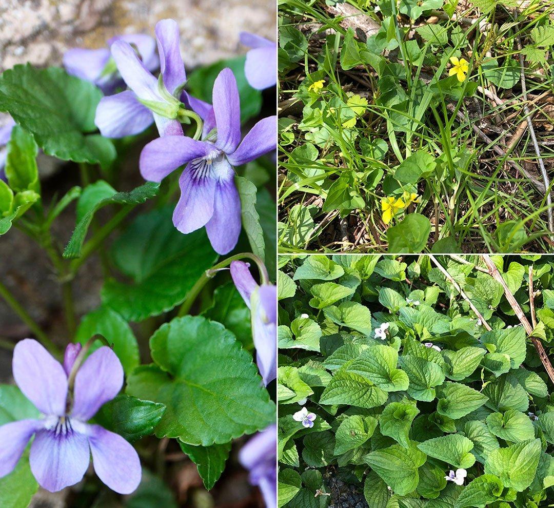 LHT Common Meadow Violet