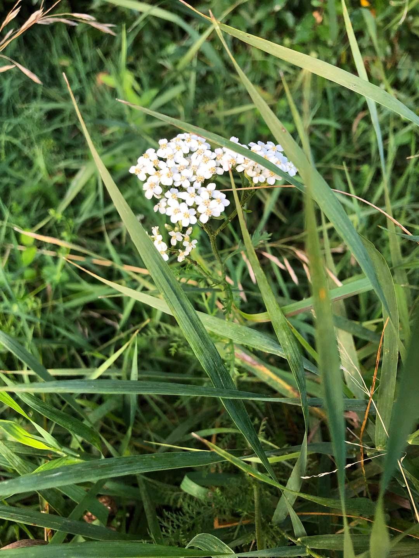 LHT Blooming Yarrow