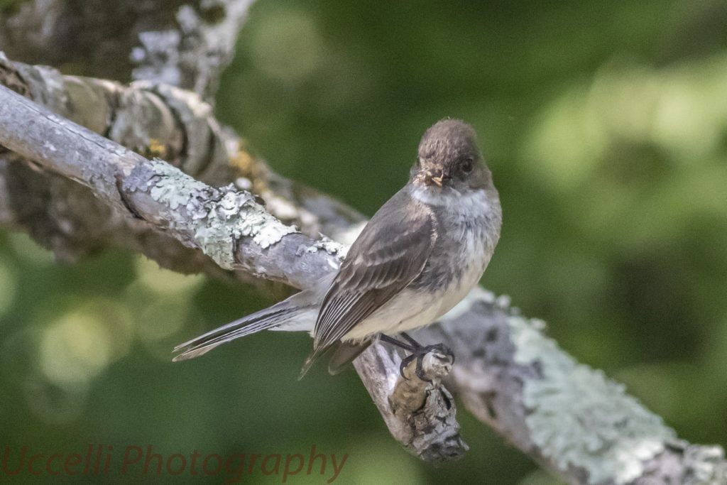 LHT Uccelli Photography Eastern Phoebe