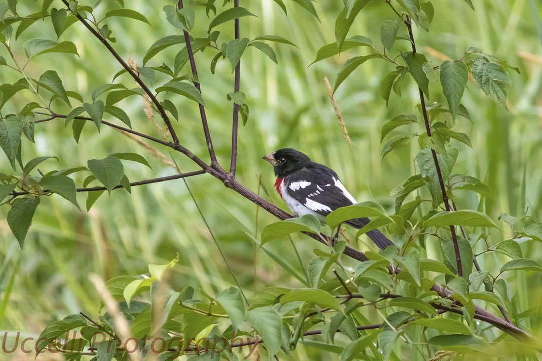 LHT Uccelli Photography Male Rose Breasted Grosbeak