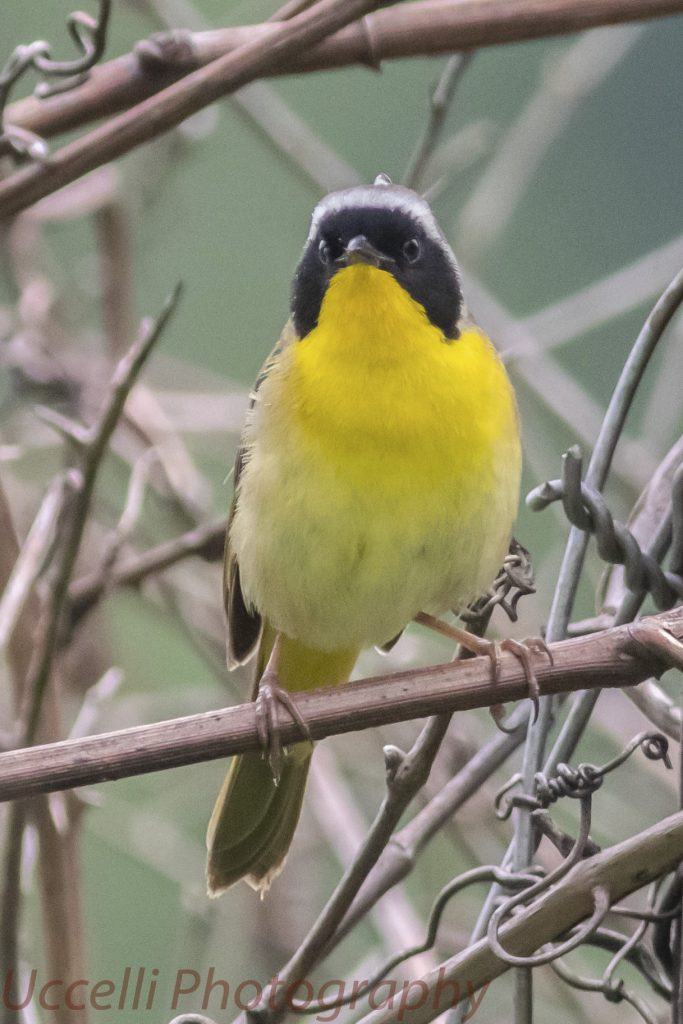 LHT Uccelli Photography Common Yellowthroats