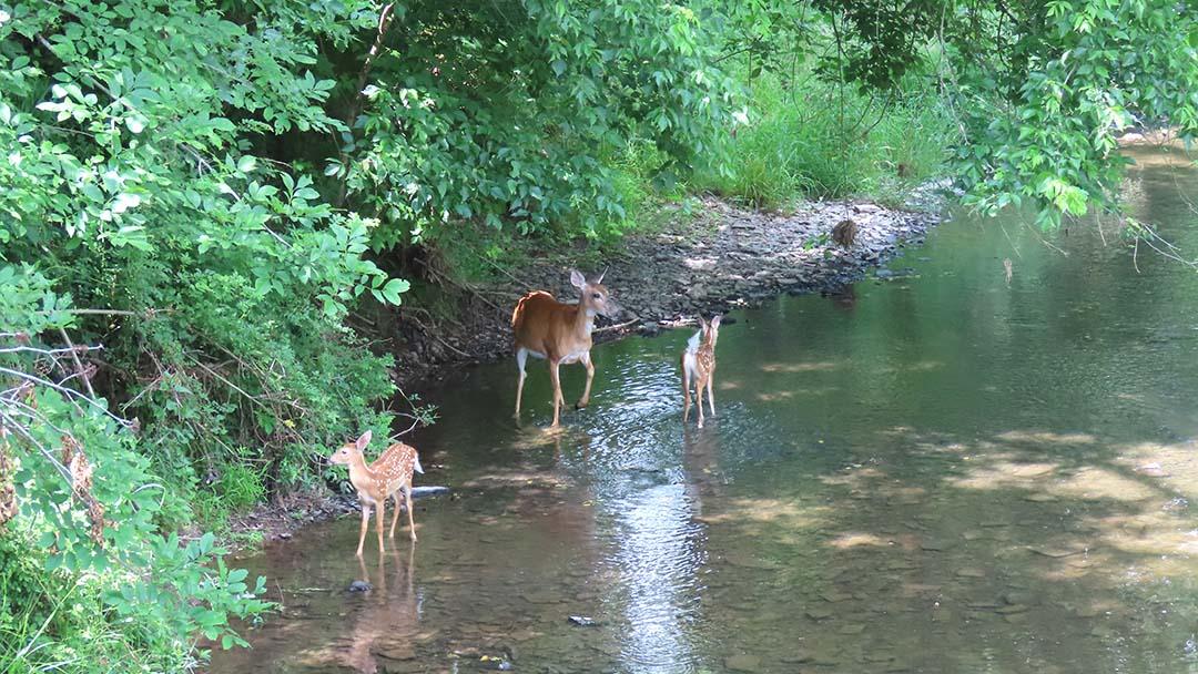 LHT Stony Brook Deer